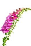 Fleurs de digitale d'isolat sur un fond blanc Photographie stock
