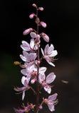 Fleurs de Diptam avec des insectes volant autour Image libre de droits