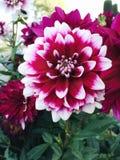 Fleurs de ` de duo de ` de dahlia photo stock