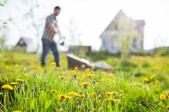 Fleurs de fauchage d'herbe et de pissenlit de jardinier dans le jardin photos stock