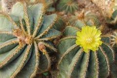 Fleurs de figue de Barbarie Photographie stock libre de droits