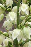 Fleurs de Filamentosa de yucca Photos stock