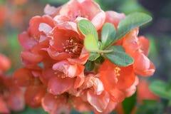 Fleurs de fin de chaenomeles ou de coing japonais  photos libres de droits