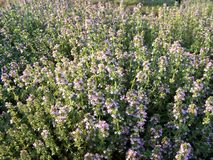 Fleurs de fines herbes de thym de citron Photos libres de droits