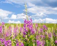 Fleurs de Fireweed en été photo libre de droits