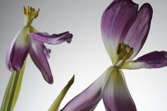 Fleurs de flétrissement de tulipe sur un blanc Photo stock