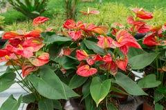 Fleurs de flamant rouges photos stock