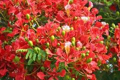 Fleurs de flambage de regia de delonix d'arbre de flamme photo libre de droits