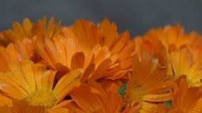 Fleurs de fleur d'herbe d'officinalis de calendula de souci plaque tournante dans le sens contraire des aiguilles d'une montre banque de vidéos