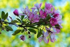 Fleurs de fleur de cerises japonaise au printemps Photo stock