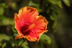 Fleurs de fleur de ketmie colorées par colorant de lien Photos stock
