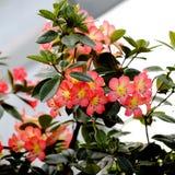 Fleurs de fleur de pêche Photos libres de droits