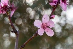 Fleurs de fleur de pêche dans le domaine photo stock