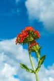 Fleurs de fleur, vue d'angle faible, sous le ciel bleu et les nuages Images stock