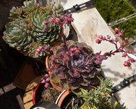 Fleurs de fleurs d'usines, pourpres et roses succulentes, jardin de fleur Photo libre de droits
