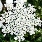 Fleurs de flocon de neige images stock