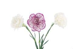 Fleurs de floraison blanches et roses d'oeillet Images libres de droits