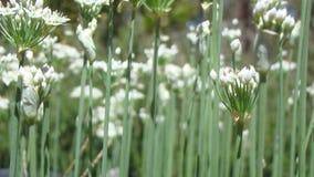 Fleurs de floraison de ciboulette Photographie stock