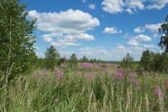 Fleurs de floraison d'épilobe dans un pré Photo stock