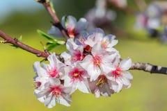 Fleurs de floraison d'amande dans un jardin au Portugal Photo libre de droits