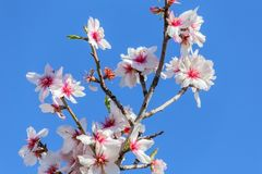 Fleurs de floraison d'amande dans un jardin au Portugal Photos stock