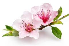 Fleurs de floraison d'amande sur une branche mince d'isolement sur le backg blanc photos stock