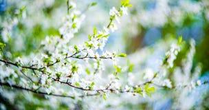 Fleurs de floraison d'arbre images libres de droits