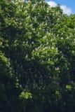 Fleurs de floraison d'arbre de châtaigne de ressort Images stock