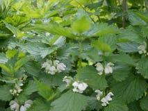 Fleurs de floraison d'usine d'ortie Photos stock