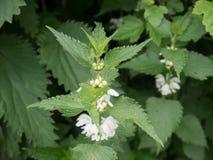 Fleurs de floraison d'usine d'ortie Image stock