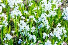 fleurs de floraison de beau blanc avec les pétales merveilleux Photographie stock