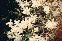 fleurs de floraison de beau blanc avec les pétales merveilleux Photographie stock libre de droits