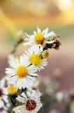 Fleurs de floraison de blanc Photos libres de droits