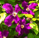 Fleurs de floraison de clématite pourpre image stock
