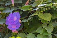 Fleurs de floraison de convolvule Image stock