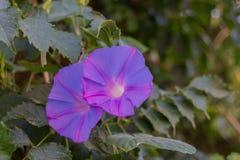 Fleurs de floraison de convolvule Images libres de droits