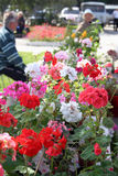 Fleurs de floraison de géranium Photos libres de droits