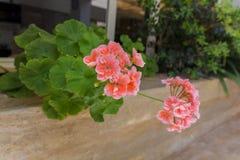 Fleurs de floraison de géranium Images libres de droits