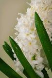 Fleurs de floraison de jacinthe dans le soleil de matin Photos stock