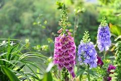 Fleurs de floraison de jacinthes de ressort dans le jardin Photo stock