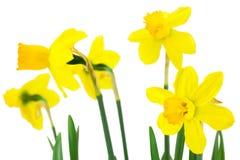 Fleurs de floraison de jonquilles Photographie stock
