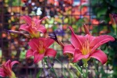 Fleurs de floraison de lis de rouge Image stock