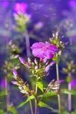 Fleurs de floraison de magie de phlox violet parfait Photographie stock libre de droits