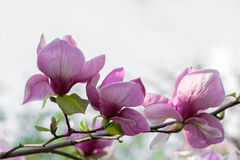 Fleurs de floraison de magnolia Photographie stock