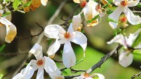 Fleurs de floraison de magnolia de blanc banque de vidéos