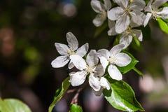 Fleurs de floraison de ressort d'un Apple-arbre et d'un feuillage vert Photos libres de droits