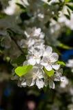 Fleurs de floraison de ressort d'un Apple-arbre et d'un feuillage vert Photographie stock libre de droits