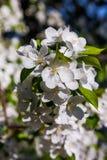 Fleurs de floraison de ressort d'un Apple-arbre et d'un feuillage vert Photos stock