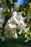 Fleurs de floraison de ressort d'un Apple-arbre et d'un feuillage vert Images stock