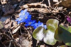 Fleurs de floraison de Hepatica Image stock